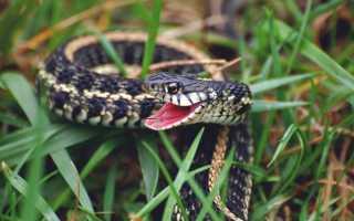 Укус змеи: что делать, если укусила змея, и как избежать укуса
