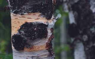 Гриб чага: применение, полезные и лечебные свойства чаги