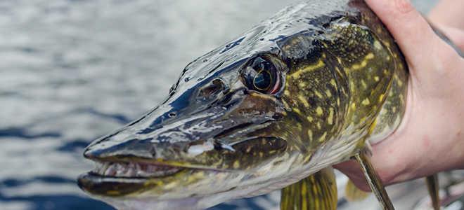 Рыбалка на хорватское яйцо: особенности ловли, виды, как сделать самому