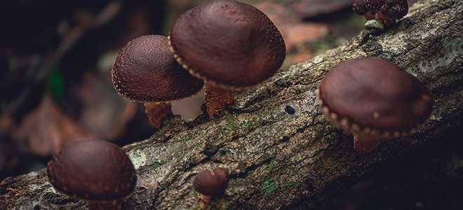 Целительная сила грибов шиитаке: чем полезны, как вырастить в домашних условиях