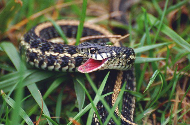Возбужденая змея