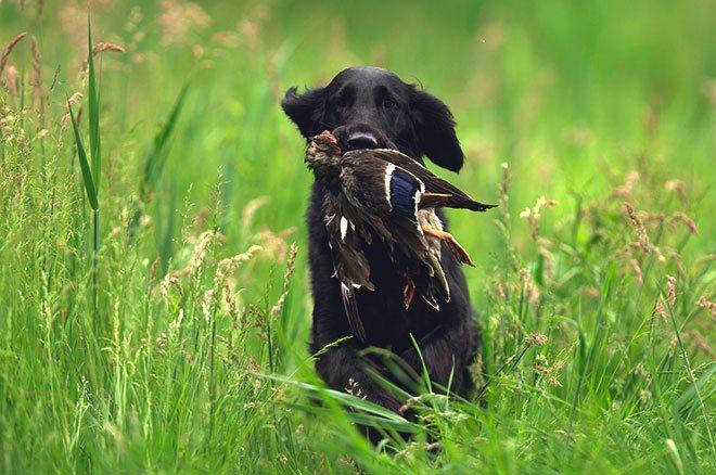 Охотничья собака и утка