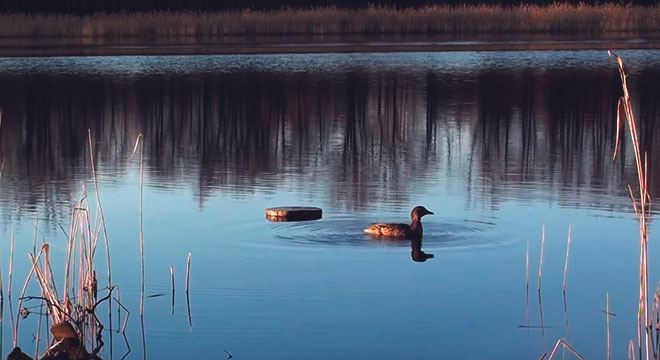 Утка на озере